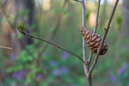 bough: Pine Cone stucked in branch closeup Stock Photo