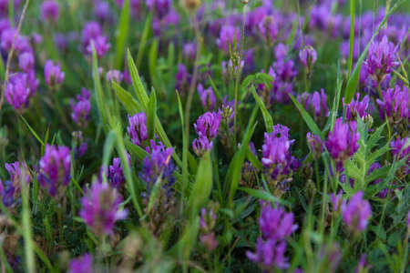 lavender coloured: Blooming purple flowers closeup Stock Photo