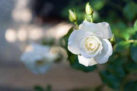Beautiful white rose flower closeup
