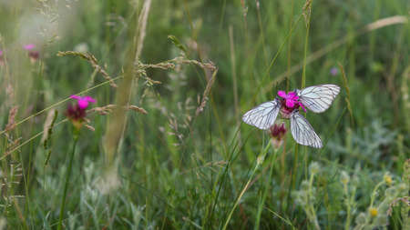 Closeup white butterflies on purple carnation flower Stock Photo