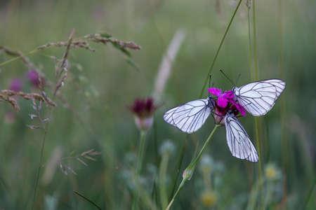 Butterflies on purple carnation macro closeup Stock Photo
