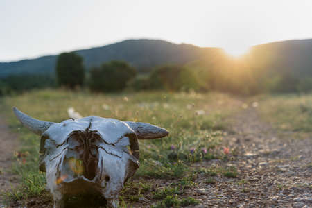 Cow skull at sunset