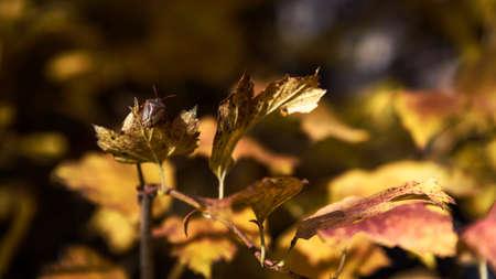 Bedbug Bug Of The Stink (Heteroptera) on leaf closeup autumn background