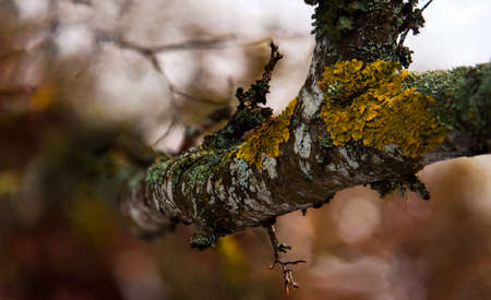 Branch covered in yellow moss blue lichen closeup