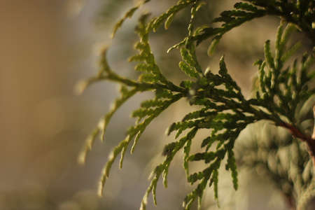 fragment: Spruce branch - macro shot a close-up fragment of tree Stock Photo