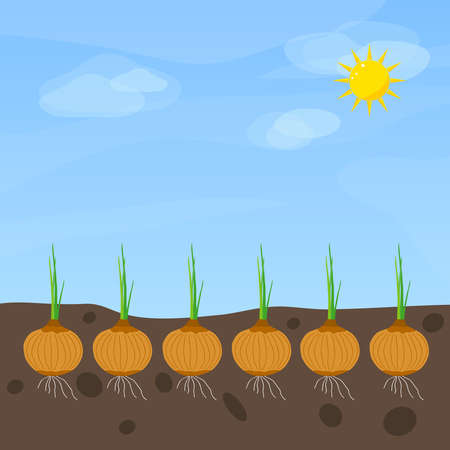 Phases of onion growth. Flat design, vector illustration, vector.