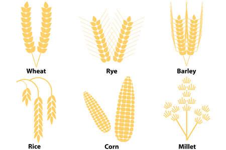 Wheat, corn, rice, barley, millet. Corn. Flat design, vector illustration, vector.