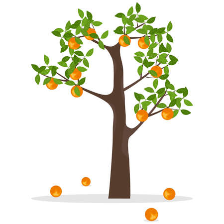 Orange tree, a tree with oranges. Ripe oranges hang on a tree. Flat design, vector illustration, vector.