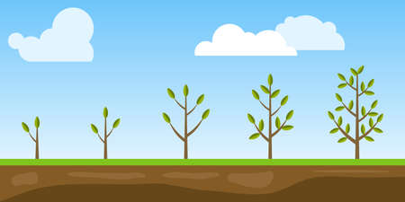 Phases of tree growth, vegetative period of the plant. Plant development. Flat design, vector illustration, vector.