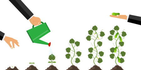 Growth of the plant from germination to maturation. The concept of planting and caring for the plant. Cultivation of cucumber. Phases of growth of a cucumber. Flat design, vector illustration, vector. Illustration