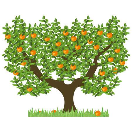 Arancio con foglie verdi. Albero verde con arance mature dolci. L'arancio isolato con frutti maturi su uno sfondo bianco.
