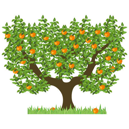 Orange tree with green leaves. Green tree with sweet ripe oranges. The isolated orange tree with mature fruits on a white background. Illustration
