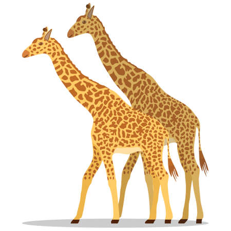 Giraffe, two giraffes isolated on white background. Vector illustration. Vector. Ilustração