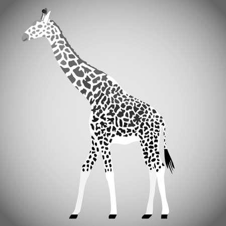 Giraffe in black and white. Giraffe isolated on a light background. Vector illustration. Vector. Illustration