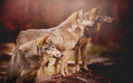 Pack of Wolf in the Autumn Forest Watching Something in the Distance on the Blurred Background