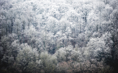 Winter Forest - Bare Trees Covered in Frost Stock Photo