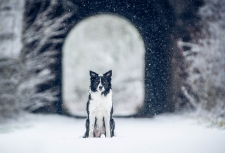 Dog Sitting in front of Tunnel. Black and White Border Collie Sitting in Snowy Weather.