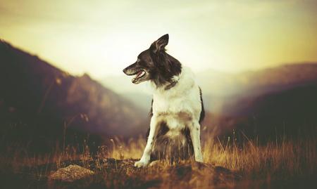Cane (Border Collie in bianco e nero) che si siede nell'erba sulla collina, Corsica Archivio Fotografico - 94650195