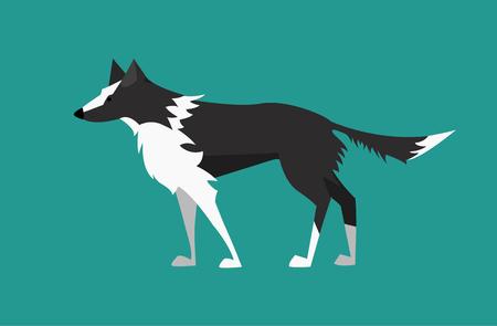 Vector illustration of dog. Black and white border collie. Illustration