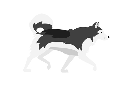 Alaskan Malamute vector illustration: black, gray and white dog - Nordic breed. 일러스트
