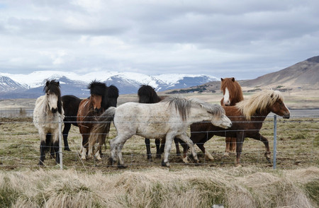 The Small Herd of Typical Islandic Ponnies Standing behind the Fence on Meadow under Mountains. Standard-Bild