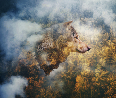 Fotocollage: Kopf des Wolfes auf dem Hintergrund des Herbstwaldes