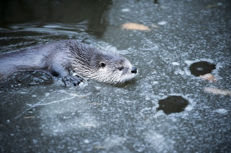 Cute Otter Swimming in Cold Water Partly Covered by Eis.
