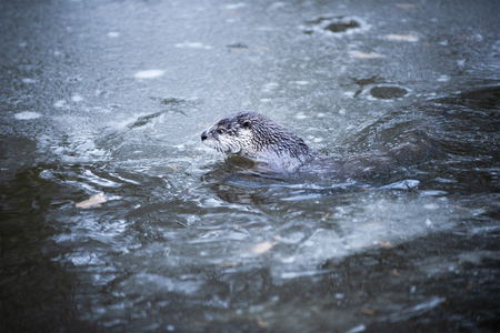 The Otter Swimming in Cold Water Partly Covered by Eis.