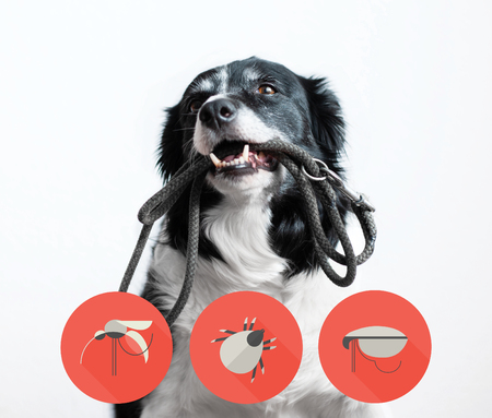 Portrait of a dog with icons of parazites around its head. Black and White Border Collie with Leash in Mouth.