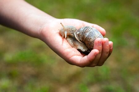 Helix Pomatia on a palm. Childs hand holding a snail.