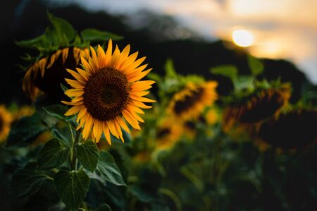 Noisy art photo of Beautiful Yellow Sunflower in the sundown. Zdjęcie Seryjne