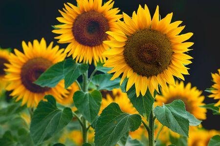 Suflowers in Bloom. Beautiful Yellow Blooming Flowers. Zdjęcie Seryjne