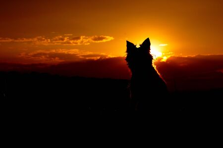 Silhouette of Border Collie. Dog sitting in sunset. Фото со стока