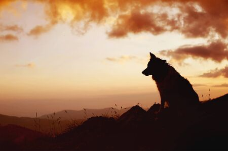 The Silhouette of the dog sitting over the hills. Portrait of Border Collie. Фото со стока