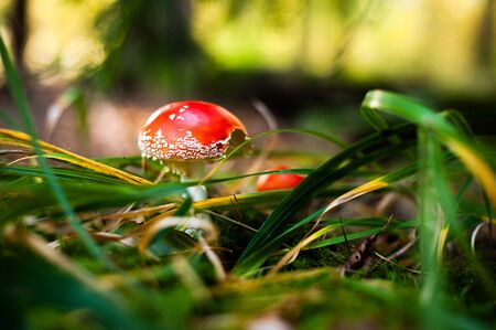 Young fly agaric in grass. Red hallucinogenic poisonous mushroom with white dots. Amanita muscaria.