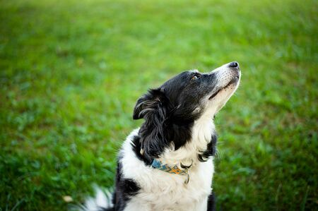 Old black and white border collie. Portrait of cute dog.