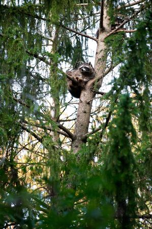Cute racoon resting on a branch high on the coniferous tree.