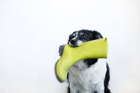 Cute black and white border collie. Dog with green rubber boot in his mouth. Stock Photo
