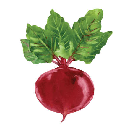 Beetroot with leaves Hand drawn watercolor painting, vector illustration Ilustração