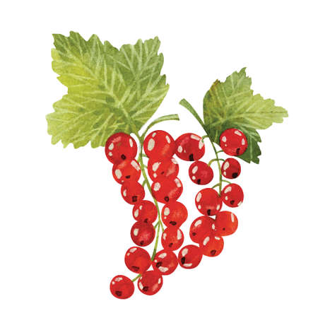 vector watercolor illustrations of red currant Illustration