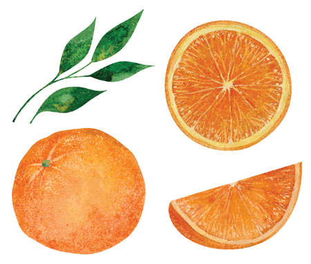Set of hand drawn watercolor oranges. Vector illustration 向量圖像