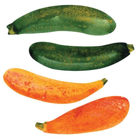zucchini: zucchini. Hand drawn watercolor illustration. Vector