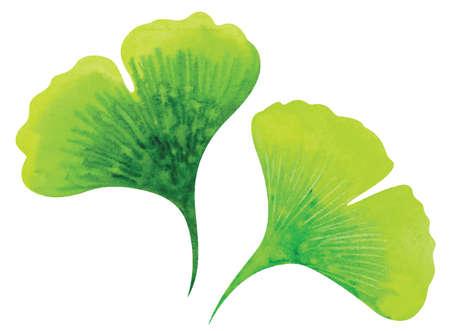 ginkgo: Ginkgo leaves. Watercolor vector illustration