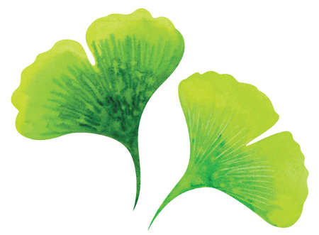 Ginkgo leaves. Watercolor vector illustration