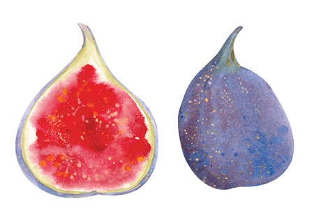 Watercolor figs. Vector hand drawn illustration