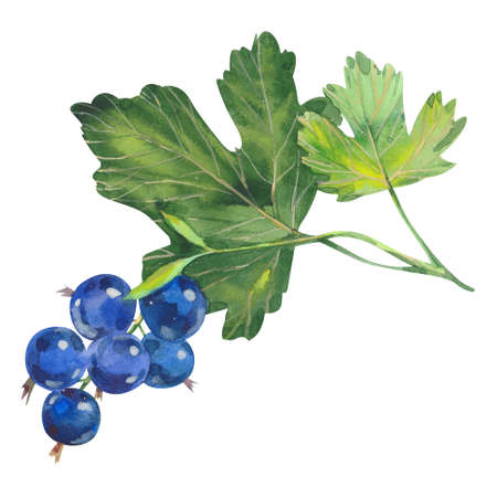 black currants on white background, watercolor illustration