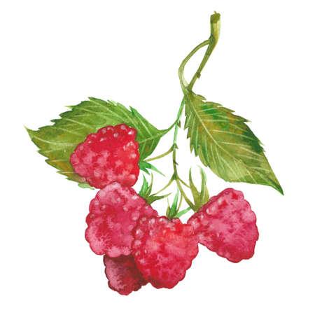白い背景の赤いラズベリー、水彩イラスト