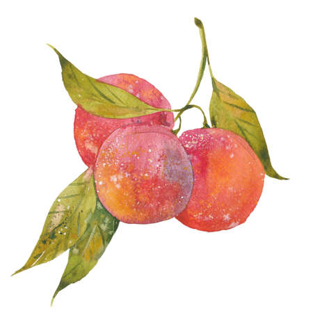 plums: red plums on branch , watercolor illustration on white background Stock Photo