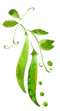 vegetable garden: green peas on a branch , watercolor illustration  on white background Stock Photo