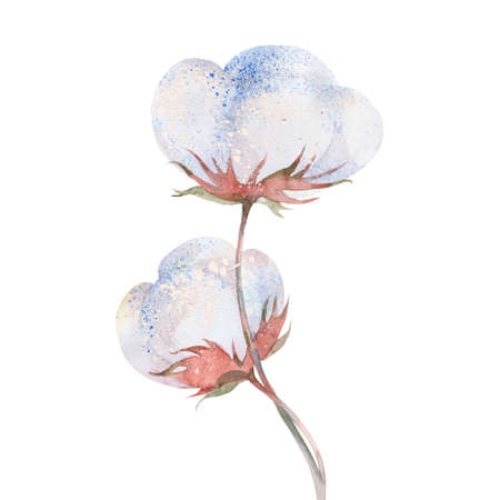 stalk flowers: Cotton plant flower, watercolor illustration  on white background